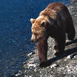 A brown bear walks along the shoreline.