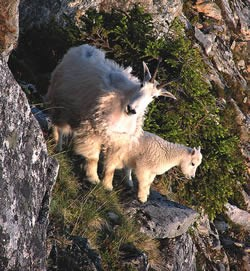A nanny and kid mountain goat stand together on a cliff side.