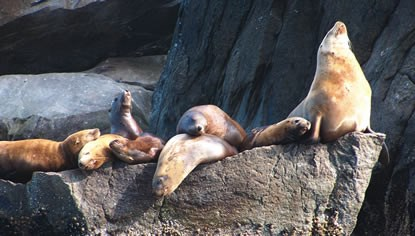 A group of Steller sea lions gather on a rocky outcrop.