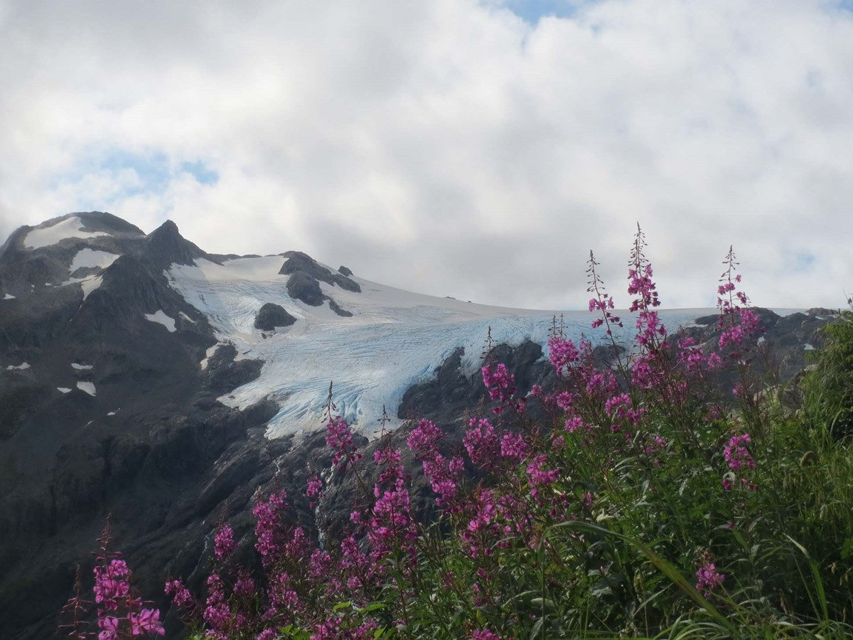 Purple fireweed flowers with a snow covered glacier and mountain in the background.