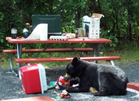 Bear getting human food at a picnic area