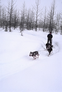 Musher with two dogs
