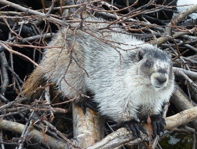 A hoary Marmot climbs through a pile of branches.