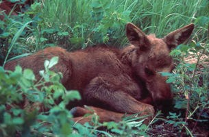 Sleeping moose calf.