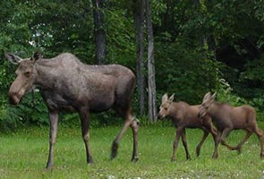 Moose cow with two calves following behind.