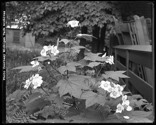 Black and white photo of flowering thimbleberry