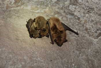 A big brown and three little brown bats