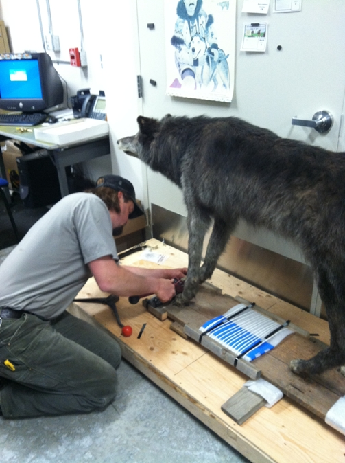 KLGO maintenance worker Cory Thole secures the wolf mount from Jeff. Smiths Parlor.