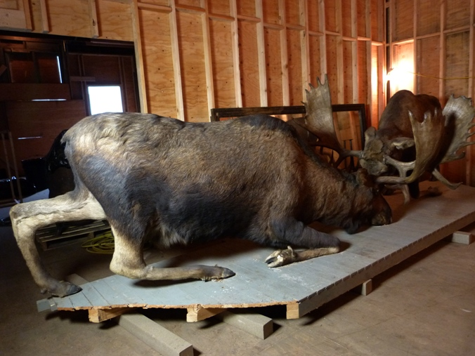 Double moose mount from Jeff. Smiths Parlor, shown in the Meyer's Meat Market building.
