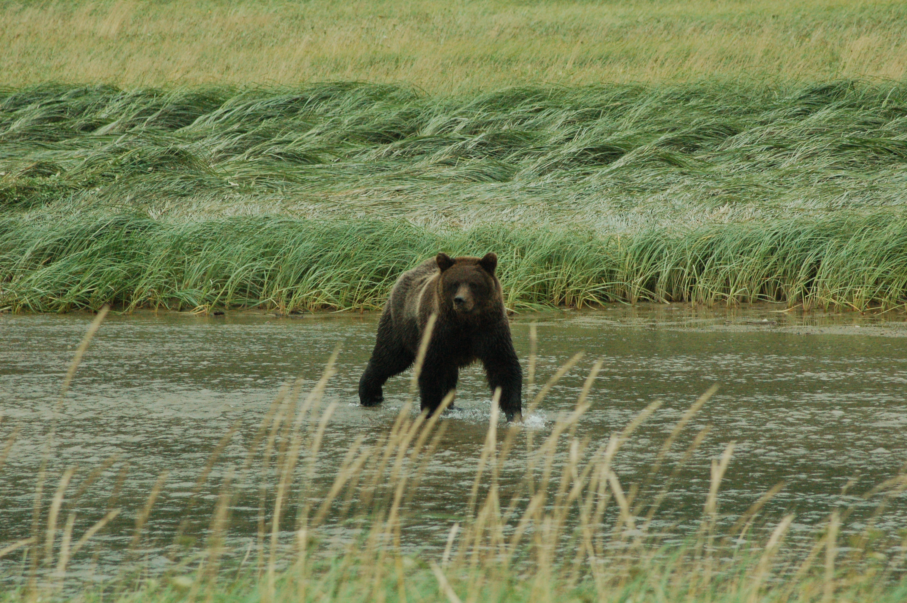 Modern photo of a brown bear crossing water in a field