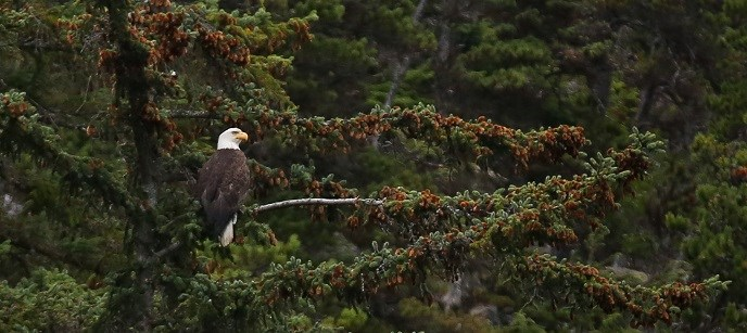 A bald eagle sits on an evergreen tree.