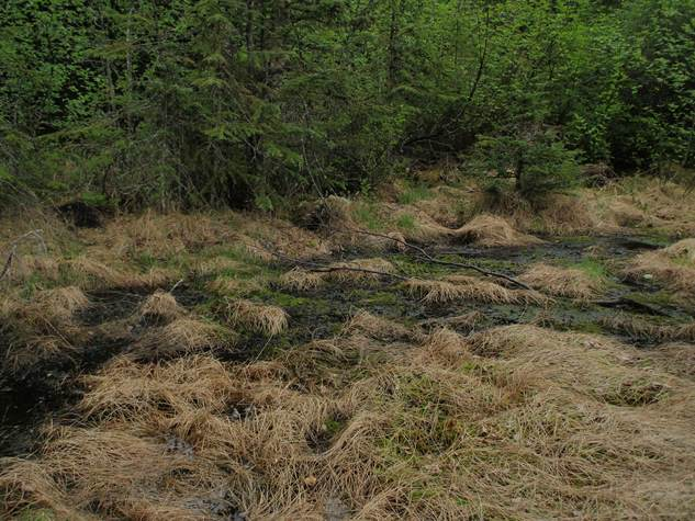 Marshy clearing where juvenile toad was found in May 2014.