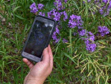 Hand holds smart phone over clump of purple flowers. Image of same flowers displays on phone screen.