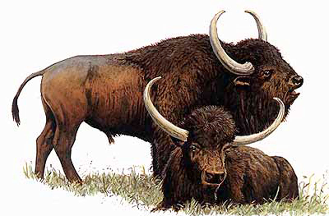 Steppe Bison Illustration from U of Maryland