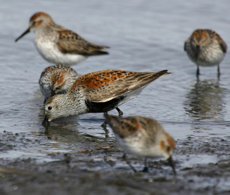 USFWS Photo: Dunlin and Western Sandpipers at Kachemak Bay