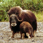Muskox cow and the back side of a calf