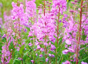 closeup of fireweed