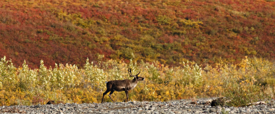 caribou with fall colors in the background