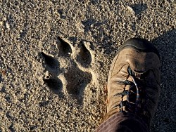 shoe next to wolf track in sand