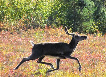 Single caribou jogs through shrubs