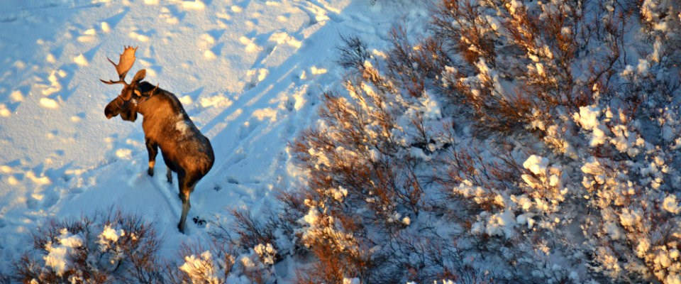 Ariel view of a moose in the snow