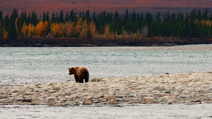 Grizzly bear stands on a gravel bar in a river with fall colors behind it.