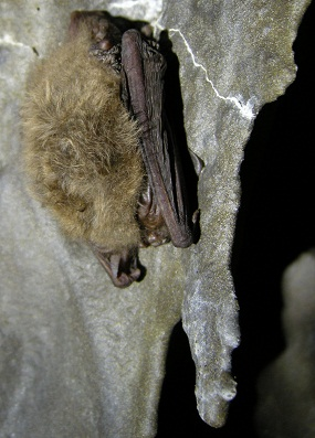 Townsend bat hibernating at Lava Beds.