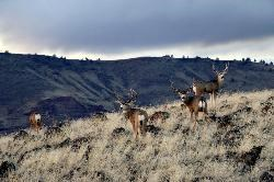 Mule Deer are a common sight in the monument.