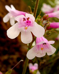 Hot-rock penstemon (white morph)