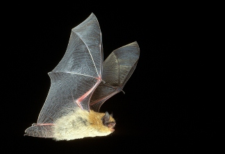 California Bat