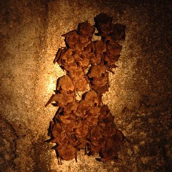 Townsend's Big-eared Bats hibernate in Lava Beds' Caves