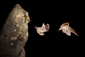 Western Small-footed Bat