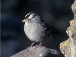 White-crowned Sparrow - Dave Menke