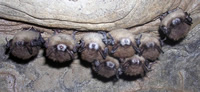 bats exhibiting white-nose fungus