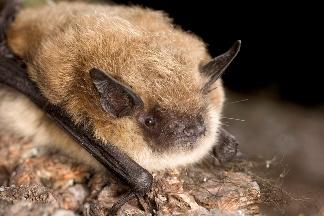 Bat Species Lava Beds National Monument U S National