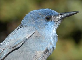 A Pinyon Jay, seen in large flocks near the campground & visitor center is the summer