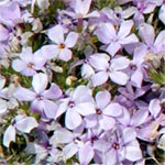 Carpet Phlox