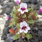 Dwarf monkeyflower