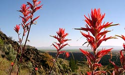 Wyoming Paintbrush