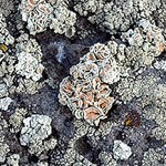 Lichens on lava