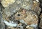 Bushy-Tailed woodrat