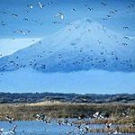 Ducks in flight over the Lower Klamath Wildlife Refuge, with Mt. Shasta in the background