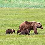 brown bear and two cubs walking through a meadow