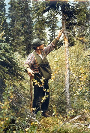 Man examines bear scratches on a small diameter tree.