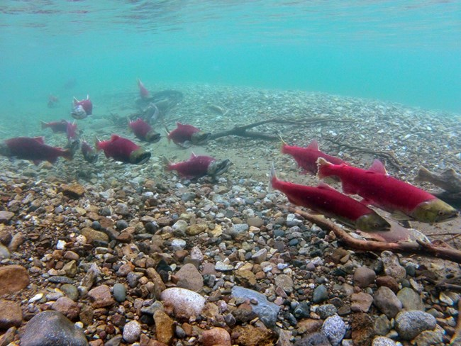 Red salmon wim along a gravel bar in blue water