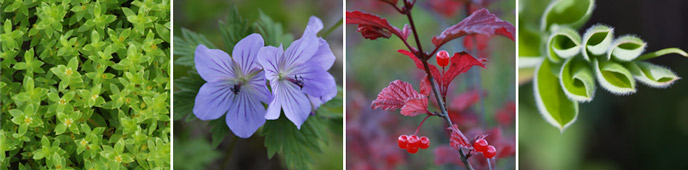 montage of four images showing four-leafed green plants with tiny yellow flowers; two light purple, six-petalled flowers; a thin, red-leafed plant bearing shiny red berries; and green leaves curled into tight cylinder shapes