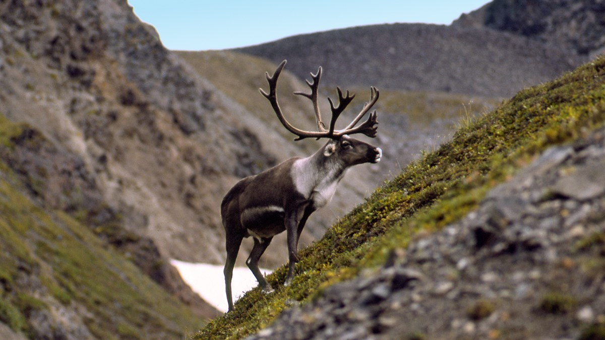 A caribou with large antlers stands on a rocky talus slope with minimal vegetation.