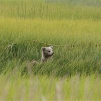Coastal Salt Marshes - Lake Clark National Park & Preserve ...