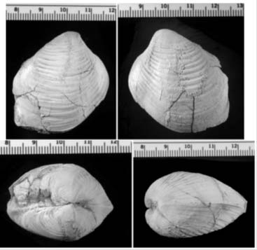 composite of four photos of a bivalve from different angles