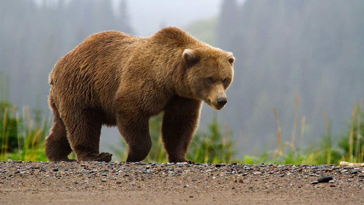 Photo of a brown bear walking along a beach with a foggy forest in the background